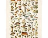 Vintage Botanical Mushroom Diagram Reproduction. Variety of Mushrooms and Fungi Educational Chart Diagram Poster Millot. CP239