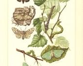 1956 Geometridae, Geometer Moths, Large Emerald, Peppered Moth, Sterrha muricata Vintage Offset Lithograph