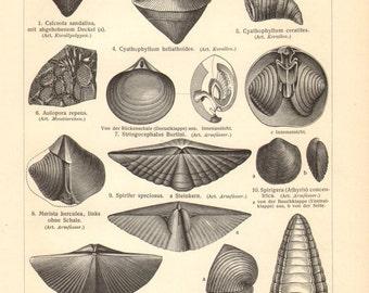 1903 Vintage Print of Fossils, Paleozoic Era, Devonian Period, Coral, Bryozoa, Brachiopod, Feather Star, Ammonite, Fishe, Trilobite, Snail
