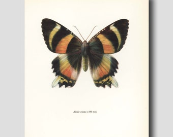 "Monarch Butterfly Watercolor Art Print, Indonesian Art ""Indonesian Island Moth"" Illustration No. 80-2"