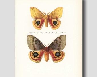 "Butterfly Print, 1960s Butterfly Art (Male & Female Butterflies) Vintage Scientific Decor ""Nocturnal Io Moths"" No. 58-2"