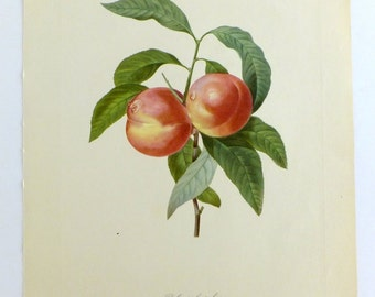 Redouté Peach Poster, Botanical Picture, Botanical Illustration, Pecher, Vintage Botanical Poster, Very large Botanical Print