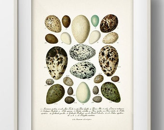 Eggs Series 5 - EG-05 - Rustic woodland fine art print of a vintage natural history antique illustration
