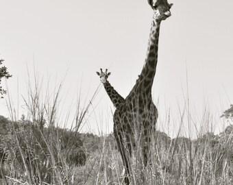 Black and White Photo Print of 2 Giraffes from Disney World!