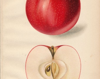 1911 Apple Antique Print