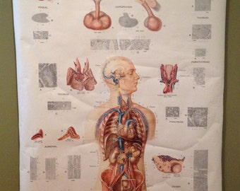 Anatomical Wall Hanging - Human Endocrine Glands - Frohse Anatomical Chart