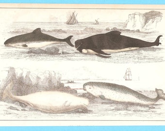 Antique Narwhal, Beluga  and other Whales  illustration
