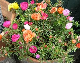 New 500 Seeds Home Garden Mixed Mexican-rose Sun Plant Portulaca Moss Rose Portulaca Grandiflora Flower Seeds