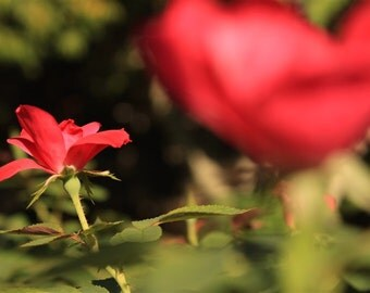 Crimson Dreams Flower Fine Art Photography Print Decor
