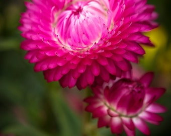 Pink Flower Blooming - spring bloom photography