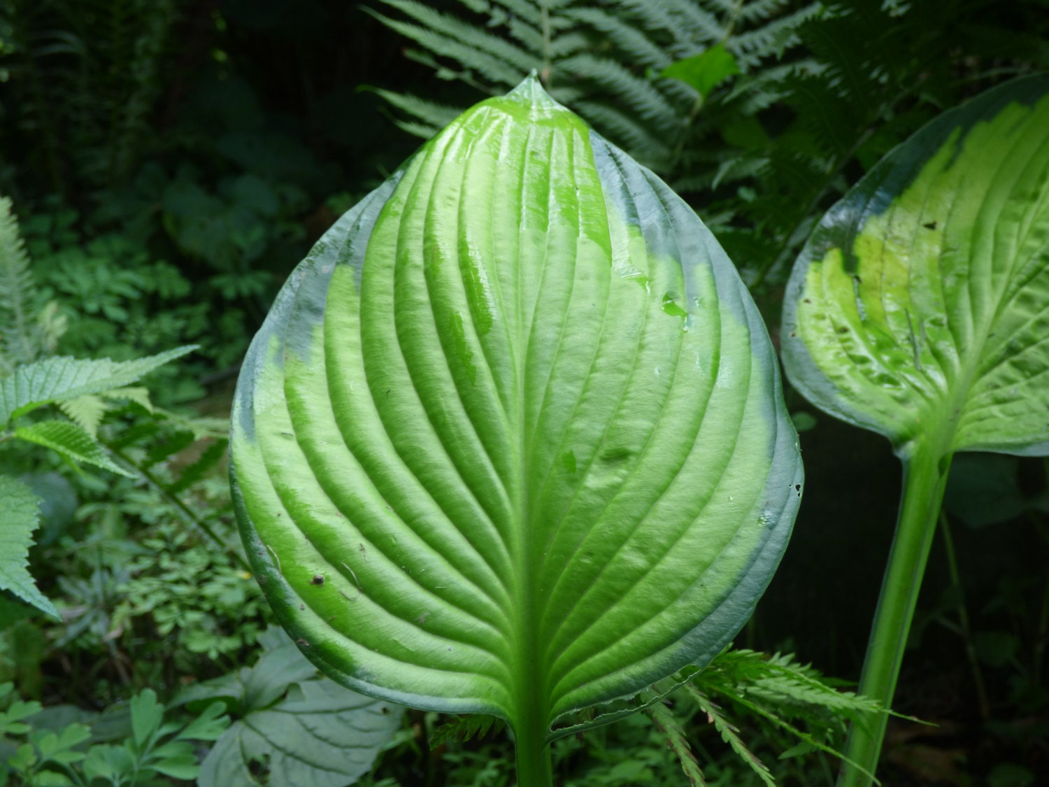 hosta plant care instructions