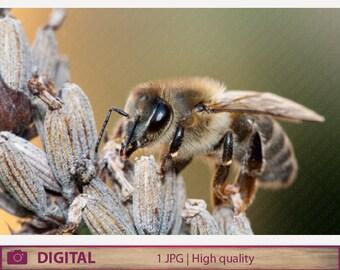 DIGITAL DOWNLOAD Honey bee photography,  honeybee instant jpg fine art download, animal nature macro color photography, home decor, wall art