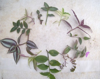 31 different named tradescantia cuttings wandering jew