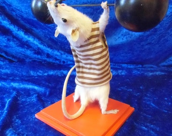 Strong man taxidermy. Free shipping