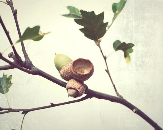 "Acorn photograph - oak tree branch - rustic autumn decor - brown green - minimal botanical print - fall photography 8x10 11x14 ""Equinox"""