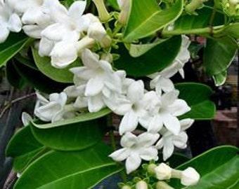 Jasmine Perfume,  Roll On Perfume, Perfume Oil, Cologne, 1/3 Ounce, Vegan, Phthalate-Free