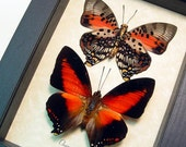 Charaxes Zingha Pair Real Framed Red African Heart Shaped Butterfly 219P