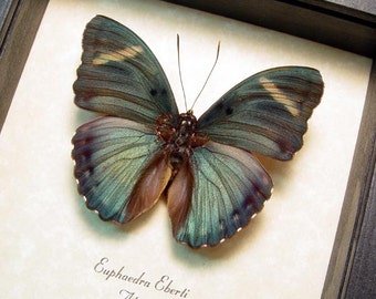 Real Framed Euphaedra Eberti Forester Butterfly 311