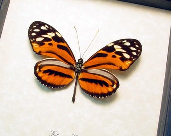 Real Heliconius Hecale Tiger Longwing Framed Butterfly 8293