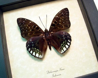 Dichorragia Ninus Dark Green and Blue Real Framed Butterfly 765