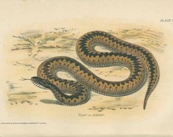 Antique Adder Print, Reptile Picture 5, Viper Print, Natural History Print, 1893, Library Decor, Scientific Print