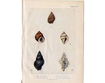 c. 1907 ANTIQUE SHELLS lithograph - original antique print - sea life marine beach ocean - shells