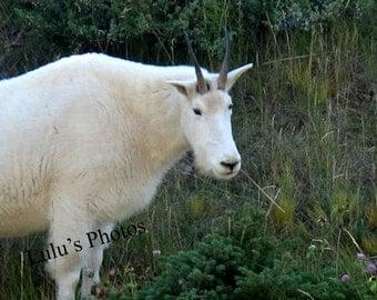 Mountain Goat Alberta Canada, Animal Photography