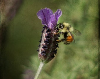 Bee photography, honeybee photo, insect photograph, macro photography,bee print,whimsical image,lavender flower photo,yellow,orange, green,