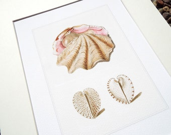 Dusty Pink & White Clam and Heart Sea Shell Study 11 Archival Print on Watercolor Paper