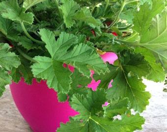 Attar of Rose Scented Geranium, Rose Geranium, Herb Plant Live Plant Pelargonium graveloens, Great for Container Gardens