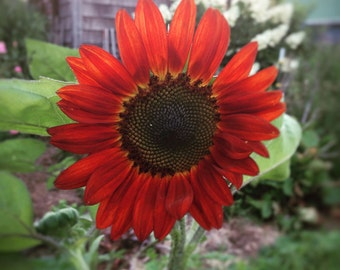 Velvet Queen Sunflower Seeds Red Sunflower Seeds Organic Sunflower Seeds Fresh From This Year's Crop