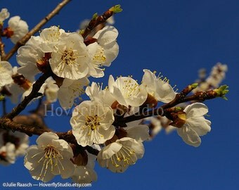 Apricot Blossoms - Nature Photography