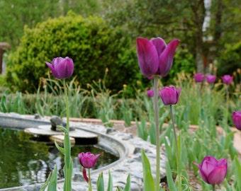 Purple Tulips Athens Ga, Botanical Garden, Nature Art, Flowers, Print, Gift, Purple Floral Home Decor Off Center Art 5x7 8x10 11x14