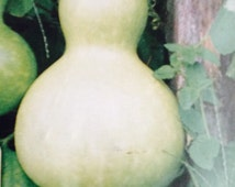 Calabanza Large Bottle Gourd Seed 20 Seed
