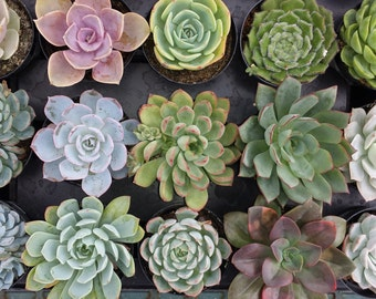 Succulent Plant - You Choose 6