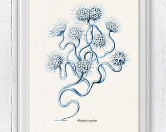 Blue seaweed  Antophisa - Antique sealife Illustration - sea life print -Marine  sea life illustration A4 print SPC016