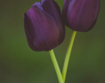 Twin Tulips - photograph on gallery wrap canvas