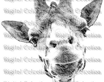 Giraffe Engraving. Giraffe PNG. Giraffe Prints. Giraffe Images. Giraffe Pictures. Giraffe Art. Giraffe Clipart. Giraffe Drawings. No. 0189.
