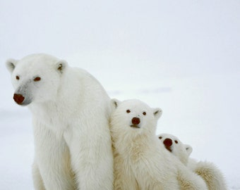 Polar Bear and Cubs (Art Prints available in multiple sizes)