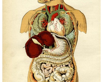 Internal organs of the human body - 11 x 17 poster/print, A Victorian medical illustration
