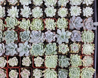 Succulent Plants. Assortment of 100 Gorgeous Succulents. Wonderful grouping for weddings and shower favors.