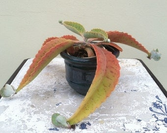 Kalanchoe gastonis-bonnieri - Well Rooted Succulent Plant - Donkey Ear Plant