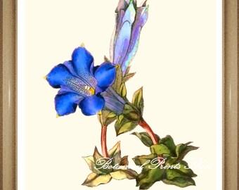 """Botanical Print. Flower Print. Blue flower print. Gentian. Flower Wall Art,  5x7"""", 8x10"""""""