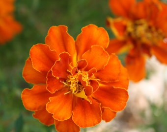 200+ Heirloom Marigold Seeds Organic Collected by Hand Open Pollinated