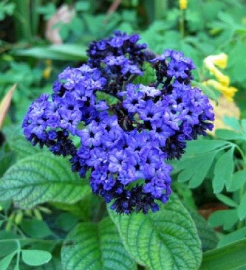 Heliotrope Mini Marine Blue Flower Seeds / Perennial 50