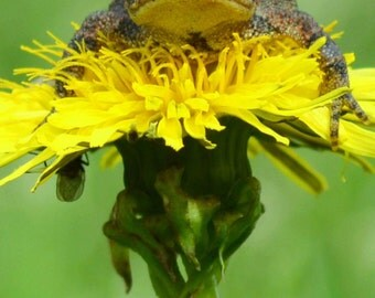 Toad Topper: A Photographic Print of an American Toad on a Dandelion