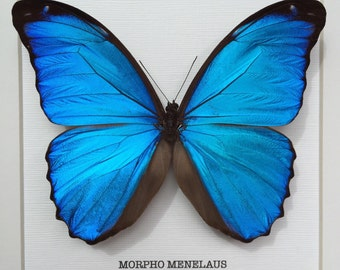 Menelaus Blue Morpho Frame
