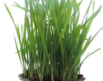 Premium Non-GMO Wheat seed, wheat grass, catgrass.