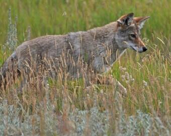 Cautious mama fox