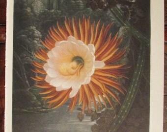 Night Blooming Cereus Vintage Print 1938